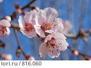 Купить «Цветение абрикоса», фото № 816060, снято 3 апреля 2009 г. (c) Оксана Завертайло / Фотобанк Лори