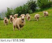 Маленькие пушистые овцы в Швейцарских Альпах. Стоковое фото, фотограф Aleksey Trefilov / Фотобанк Лори