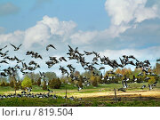 Купить «Тростники и гуси в побережье Матсалуского  национального парка в Эстонии», фото № 819504, снято 12 мая 2007 г. (c) Aleksander Kaasik / Фотобанк Лори