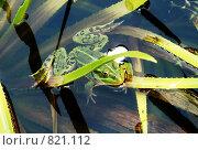 Лягушка прудовая в зарослях телореза. Стоковое фото, фотограф Тамара Нагиева / Фотобанк Лори