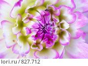 Розовый георгин макро. Стоковое фото, фотограф Александр Косарев / Фотобанк Лори