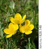 Три жёлтых цветка. Стоковое фото, фотограф Роман Чабан / Фотобанк Лори