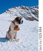 Собака спасатель в Альпах. Стоковое фото, фотограф Aleksey Trefilov / Фотобанк Лори