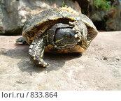 Черепаха. Стоковое фото, фотограф Никитин Александр Николаевич / Фотобанк Лори