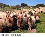Купить «Стадо и пастух», фото № 834128, снято 17 февраля 2007 г. (c) Irina Opachevsky / Фотобанк Лори
