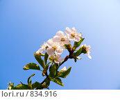 Купить «Ветка цветущей вишни на фоне голубого неба», фото № 834916, снято 21 мая 2018 г. (c) Сергей Королько / Фотобанк Лори