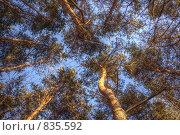 Купить «Сосны в лучах заходящего солнца на фоне неба», фото № 835592, снято 4 апреля 2009 г. (c) Сергей Иващенко / Фотобанк Лори