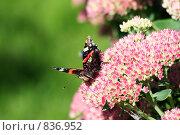 Красный адмирал на розовом очитке. Стоковое фото, фотограф Тамара Нагиева / Фотобанк Лори