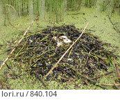 Купить «Кладка чомги в гнезде на воде», фото № 840104, снято 17 июля 2004 г. (c) Максим Антипин / Фотобанк Лори