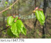 Купить «Молодые листья», фото № 847776, снято 3 мая 2009 г. (c) Александр Тёмин / Фотобанк Лори