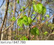 Купить «Молодые листья», фото № 847780, снято 3 мая 2009 г. (c) Александр Тёмин / Фотобанк Лори