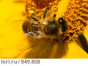 Купить «Пчела собирает нектар», фото № 849808, снято 16 сентября 2007 г. (c) Алексей Ухов / Фотобанк Лори