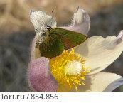 Бабочка на цветке. Подснежник. Стоковое фото, фотограф Антон Серохвостов / Фотобанк Лори