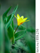 Купить «Тюльпан. Мягкий фокус», фото № 859216, снято 21 сентября 2018 г. (c) Андрей Доронченко / Фотобанк Лори