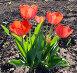 Тюльпаны, фото № 860960, снято 11 мая 2009 г. (c) Дудакова / Фотобанк Лори