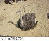 Купить «Африканский страус», фото № 863704, снято 11 мая 2009 г. (c) Елена Велесова / Фотобанк Лори