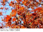 Весна. Красный клен. Стоковое фото, фотограф Константин Сапронов / Фотобанк Лори