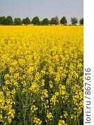 Купить «Цветущее желтое поле рапса», фото № 867616, снято 1 мая 2009 г. (c) Архипова Мария / Фотобанк Лори