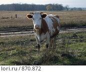 Корова. Стоковое фото, фотограф Евгений Селезнев / Фотобанк Лори