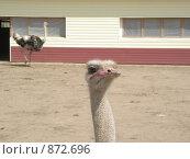 Купить «Африканский страус», фото № 872696, снято 11 мая 2009 г. (c) Елена Велесова / Фотобанк Лори