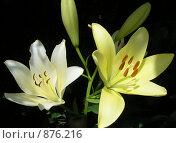 Купить «Две лилии в темноте», фото № 876216, снято 25 июня 2007 г. (c) Тарасова Татьяна / Фотобанк Лори