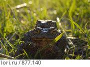 Две лягушки в траве. Стоковое фото, фотограф Данила Игнатович / Фотобанк Лори