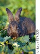 Кролик (Oryctolagus cuniculus) Стоковое фото, фотограф Василий Вишневский / Фотобанк Лори