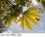 Купить «Молодые листья клена», фото № 882720, снято 11 мая 2009 г. (c) Евгений Большаков / Фотобанк Лори