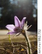 Купить «Прострел, или сон-трава», фото № 882732, снято 26 апреля 2009 г. (c) Евгений Большаков / Фотобанк Лори