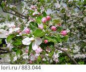 Купить «Яблони в цвету», фото № 883044, снято 2 мая 2009 г. (c) Александр Бутенко / Фотобанк Лори