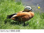 Утка огарь (Tadorna ferruginea) Стоковое фото, фотограф Игорь Долгов / Фотобанк Лори