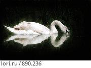 Купить «Лебедь-шипун», фото № 890236, снято 16 мая 2009 г. (c) Дорощенко Элла / Фотобанк Лори