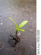 Купить «Молодой росток, пробившийся через асфальт», фото № 893600, снято 24 мая 2009 г. (c) Яков Филимонов / Фотобанк Лори