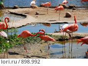 Розовые фламинго. Стоковое фото, фотограф Андрей Лисняк / Фотобанк Лори