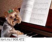 Купить «Йоркширский терьер играет на пианино», фото № 908472, снято 12 августа 2008 г. (c) Сергей Плахотин / Фотобанк Лори