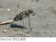 Купить «Охотящийся хищный жук-скакун», фото № 912420, снято 25 июня 2005 г. (c) Тихонов Алексей Владимирович / Фотобанк Лори