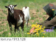 Купить «Бабушка пасет коз в поле», эксклюзивное фото № 913128, снято 9 июня 2009 г. (c) Яна Королёва / Фотобанк Лори