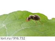Купить «Муравей на зеленом листе», фото № 916732, снято 4 августа 2008 г. (c) Литова Наталья / Фотобанк Лори