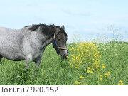 Купить «Лошадь в поле жует траву», фото № 920152, снято 14 июня 2009 г. (c) Яна Королёва / Фотобанк Лори