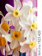 Купить «Нарцисс мелко корончатый белый с желтой коронкой - Narcissus», фото № 923420, снято 11 июня 2009 г. (c) Михаил Митин / Фотобанк Лори