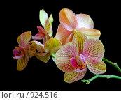 Купить «Орхидея», фото № 924516, снято 15 марта 2009 г. (c) Тимофеев Павел / Фотобанк Лори