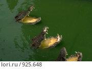 Купить «Крокодилы», фото № 925648, снято 10 сентября 2008 г. (c) Анатолий Никитин / Фотобанк Лори