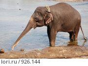 Слон пьет воду. Стоковое фото, фотограф Ксения Шаханова / Фотобанк Лори