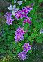 Декоративные цветы клематис, эксклюзивное фото № 933464, снято 16 июня 2009 г. (c) lana1501 / Фотобанк Лори