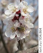 Купить «Дикие опылители абрикоса», фото № 934864, снято 26 апреля 2009 г. (c) Елена Назарова / Фотобанк Лори