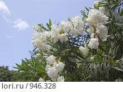 Купить «Белый олеандр на фоне голубого неба», фото № 946328, снято 10 июня 2009 г. (c) Илюхина Наталья / Фотобанк Лори