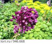 Купить «Соцветия дикого лука», фото № 946668, снято 24 июня 2009 г. (c) Мурад / Фотобанк Лори