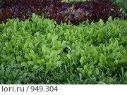 Грядка с разными видами салата. Стоковое фото, фотограф Дарья Киселева / Фотобанк Лори