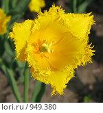 Купить «Желтый тюльпан», фото № 949380, снято 2 мая 2009 г. (c) Юлия Подгорная / Фотобанк Лори