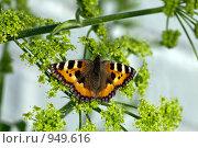 Купить «Бабочка крапивница на ветке», фото № 949616, снято 17 октября 2018 г. (c) Парушин Евгений / Фотобанк Лори